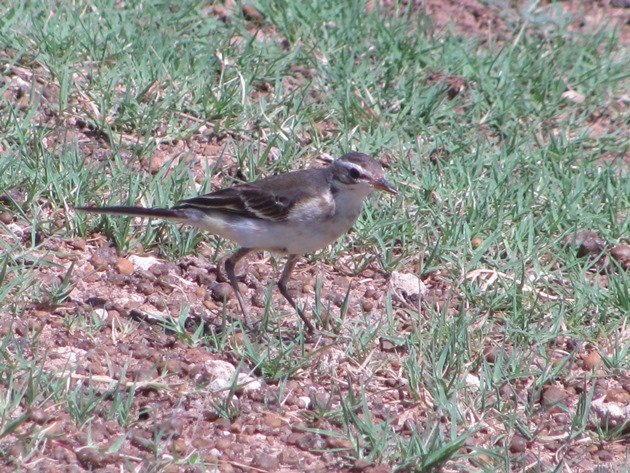 Eastern Yellow Wagtail (9)