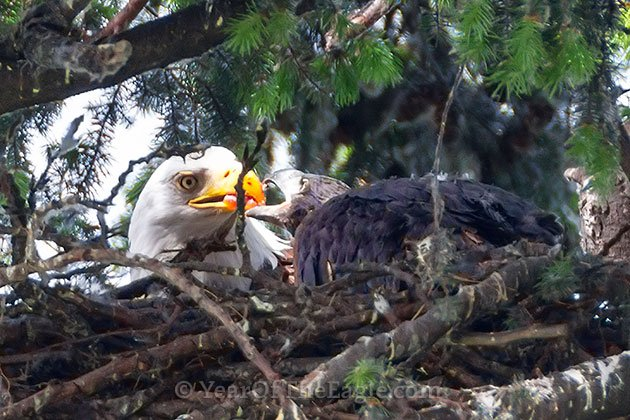 Bald Eagle Feeding Juvenile