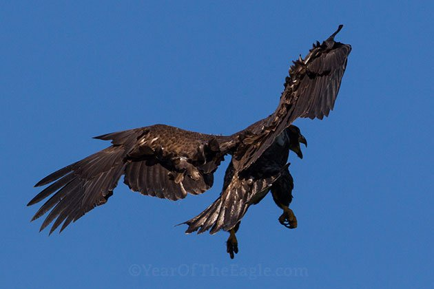 First Flight Of Juvenile Bald Eagle