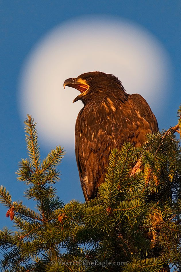 Juvenile Bald Eagle and Moon