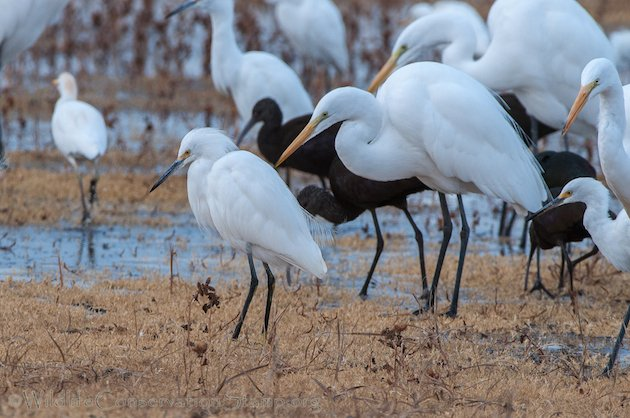 Egrets Concentrate at Colusa NWR