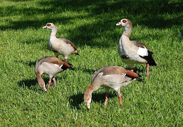 Egyptian Goose 01