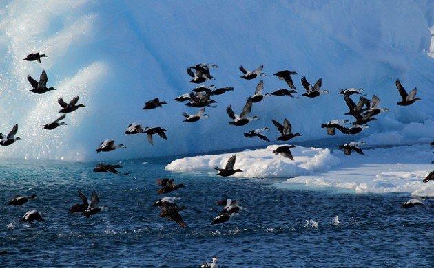 Greenland's Arctic Tern