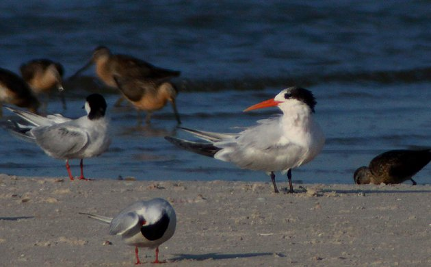 Elegant Tern in New York