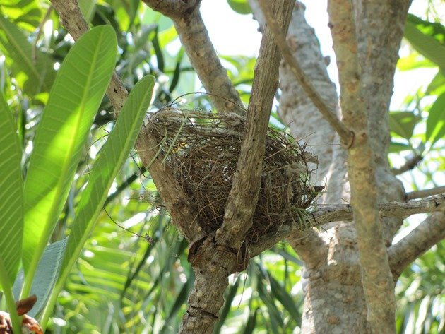 Empty Little Friarbird nest