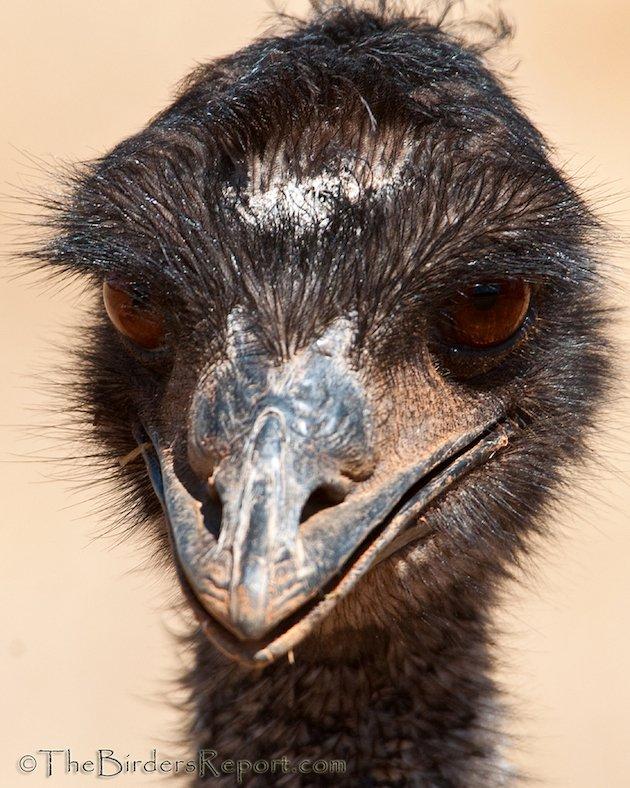Emu Portrait