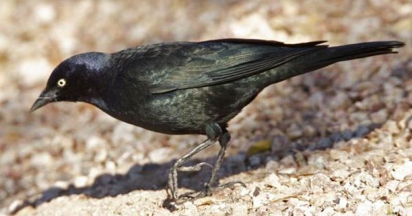 What's in a Name: Brewer's Blackbird