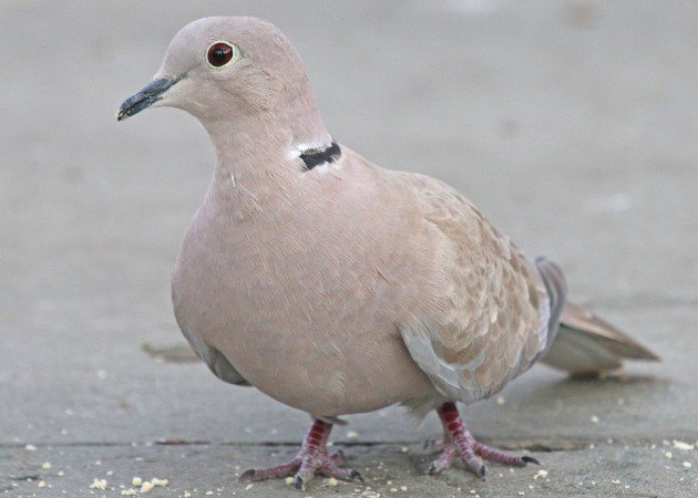 Eurasian Collared-Dove in Manhattan