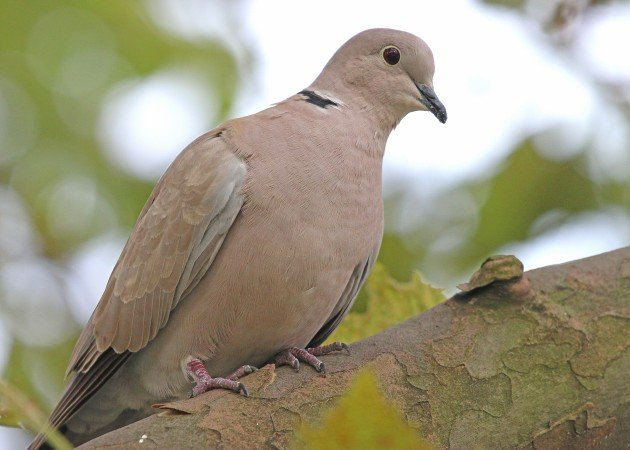 Eurasian Collared-Dove in New York City