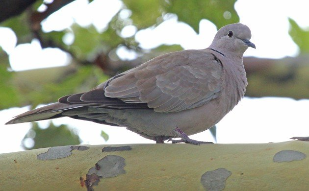 Eurasian Collared-Dove in a tree