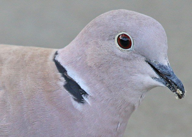 Eurasian Collared-Dove portrait