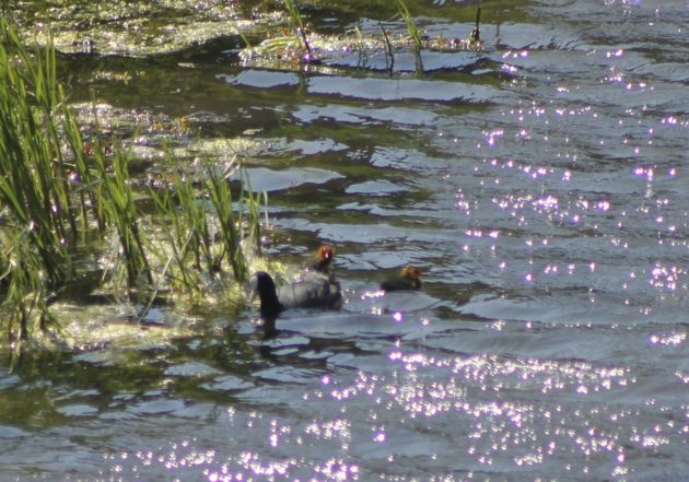 Eurasian Coot and more babies!