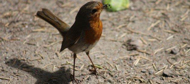 ornithology thesis