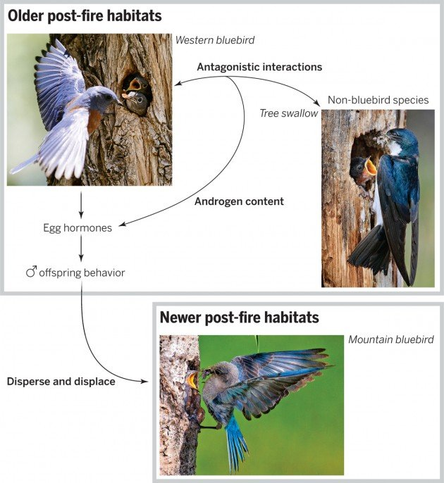 Original Caption from Science Magazine: Duckworth et al. (4) show that female western bluebirds experiencing increased conflict with individuals from non-bluebird species have more androgens in their eggs and produce sons that hatch early. These males are more aggressive and disperse to newer post-fire habitats, where they displace mountain bluebirds. Non-bluebird species thus indirectly affect (13) the distribution of mountain bluebirds. This hormone-mediated maternal effect on the behavior of individual male offspring in turn affects higher ecological scales by influencing the distribution and abundance of bluebird species in these communities.