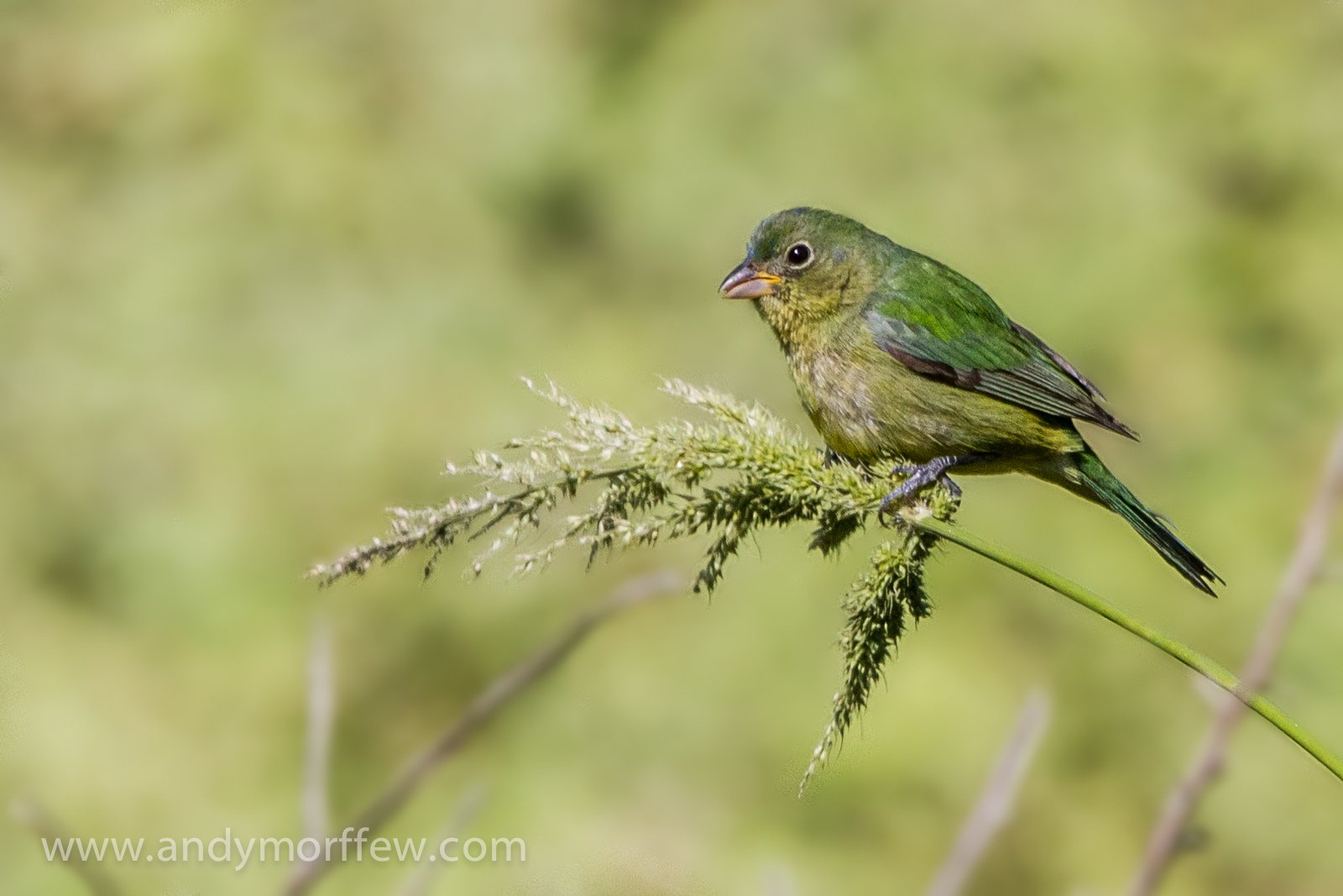 Female Painted Bunting cc-by-nd Andy Morffew