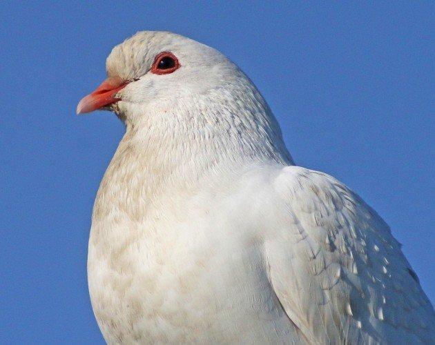 Feral Pigeon near albino
