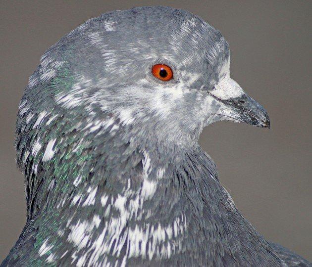 Feral Pigeon piebald
