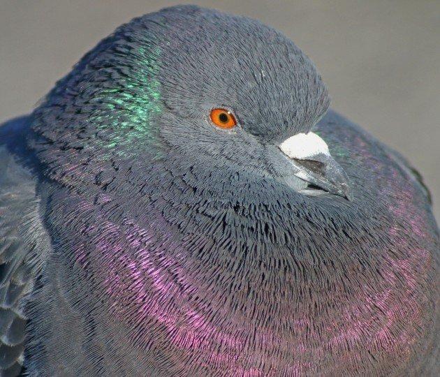 Feral Pigeon portrait 2