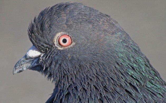 Feral Pigeon portrait