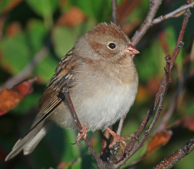 Field Sparrow at Fort Tilden