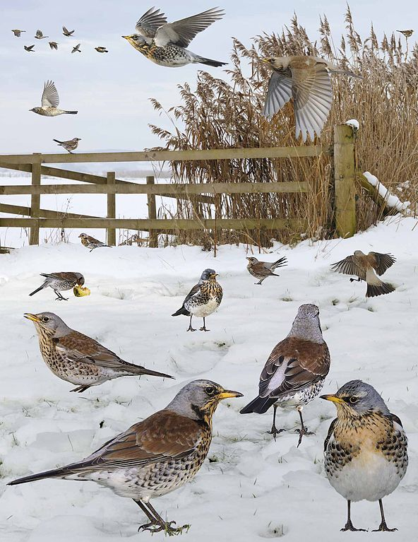 Fieldfare_from_the_Crossley_ID_Guide_Britain_and_Ireland