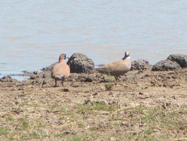 Flock Bronzewings (2)