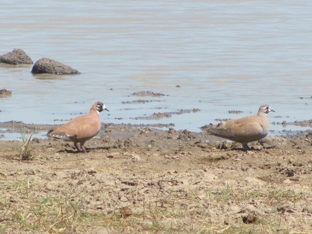 Flock Bronzewings (3)