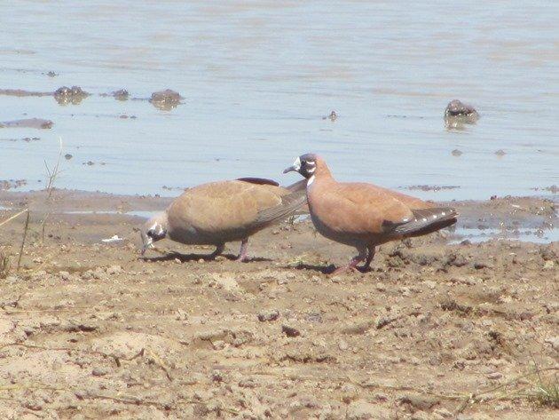 Flock Bronzewings (4)
