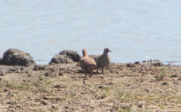 Flock Bronzewings
