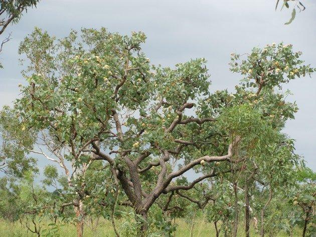 Flowering Eucalypt tree