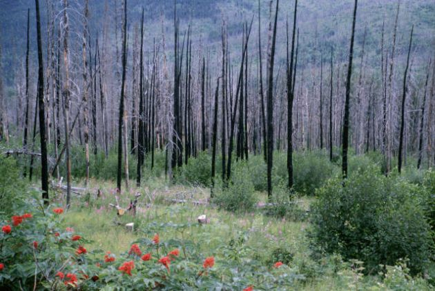 Forest recovery after fire by Phyllis Cooper