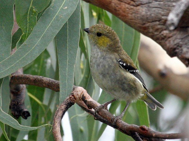 Forty-spotted_Pardalote