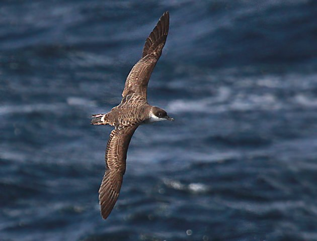 Great Shearwater in New York waters
