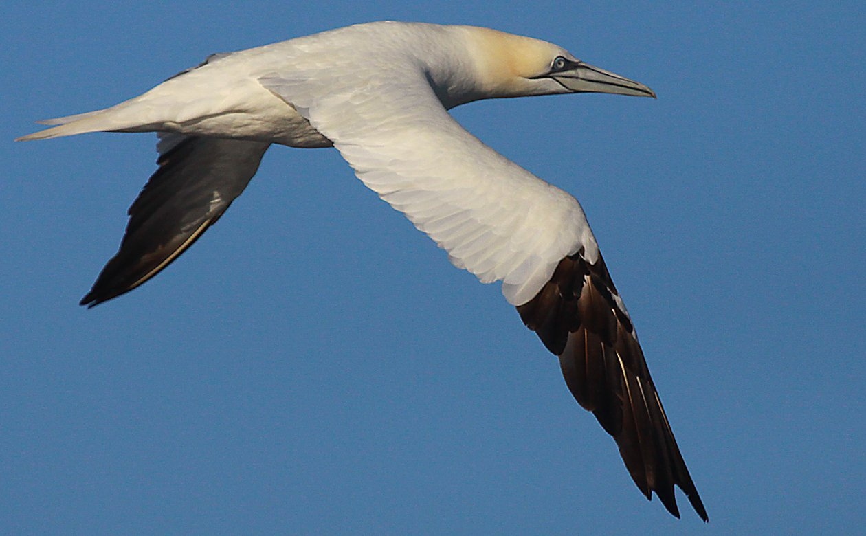 Freeport Northern Gannet