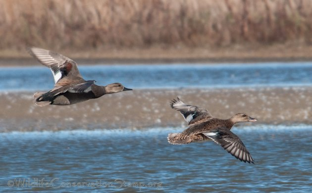 Gadwall Pair In Flight