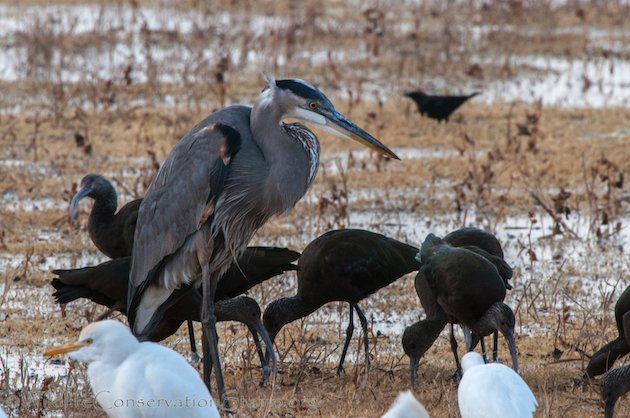 Great Blue Heron and White-faced Ibis