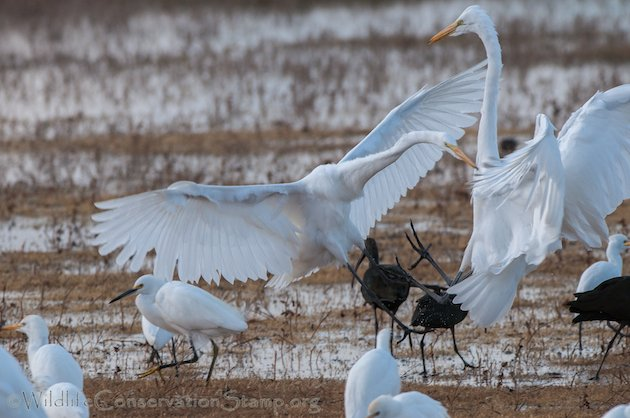 Great Egret Confrontation