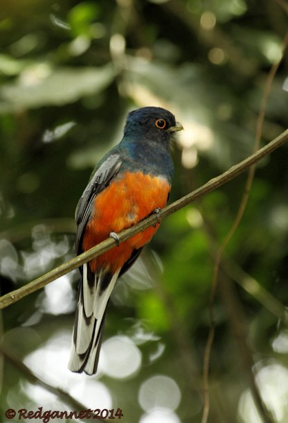 GRU 11May14 Surucua Trogon 01