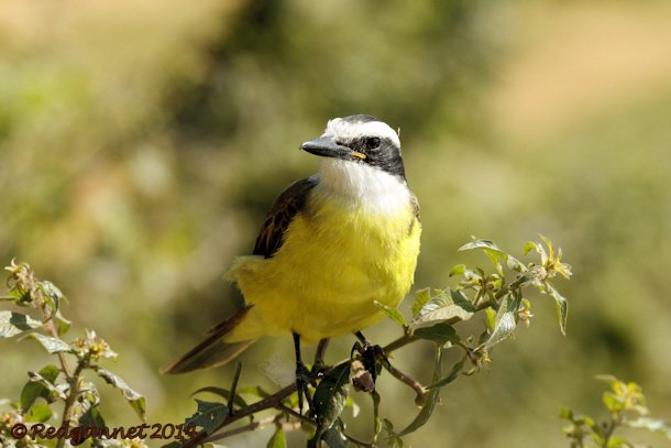 GRU 13May14 Greater Kiskadee 01