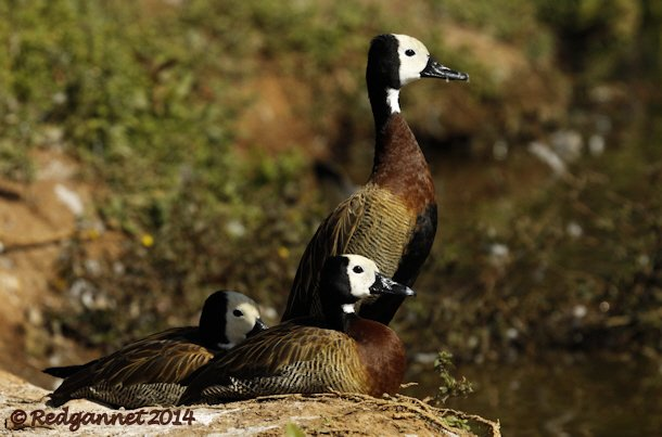 GRU 13May14 White-faced Whistling-duck 01