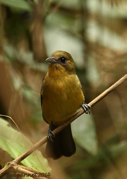 GRU 25Sep14 Black-goggled Tanager 01