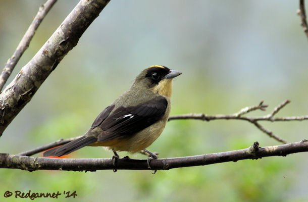 GRU 25Sep14 Black-goggled Tanager 02