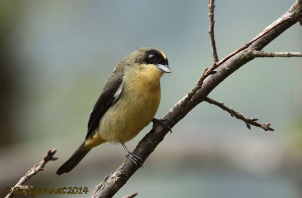 GRU 25Sep14 Black-goggled Tanager 03