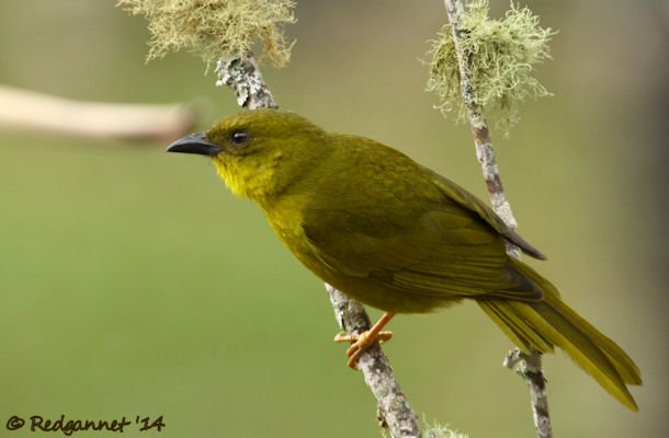 GRU 25Sep14 Green Olive Tanager 01