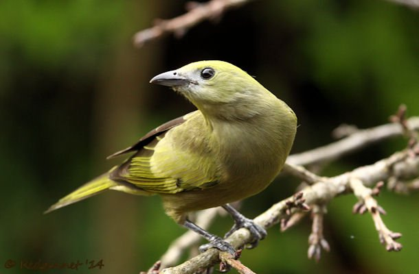 GRU 25Sep14 Palm Tanager 01