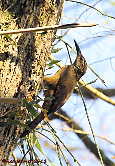 GRU 30Sep11 White-throated Woodcreeper 01