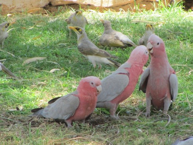Galahs & Yellow-throated Miners (2)