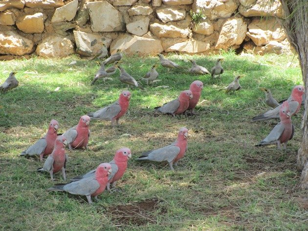 Galahs & Yellow-throated Miners