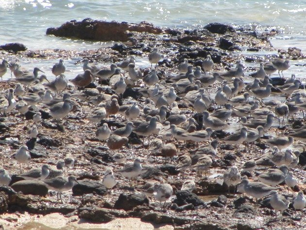 Gantheaume Point shorebirds (5)