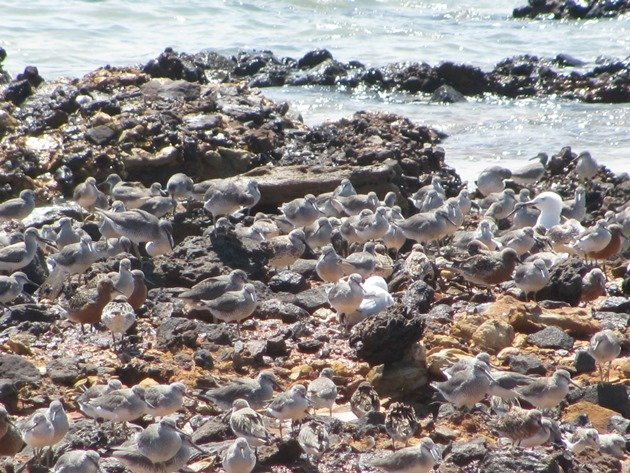 Gantheaume Point shorebirds (8)